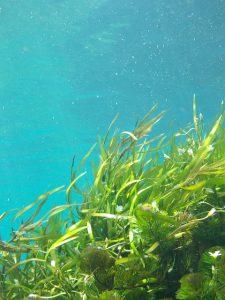 seaweed-1129226_640